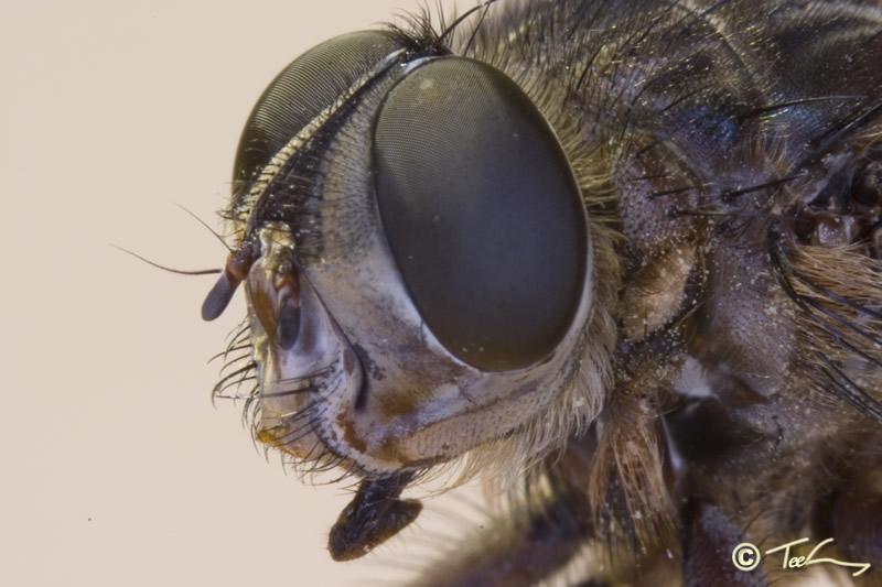 Diptera Tabanidae