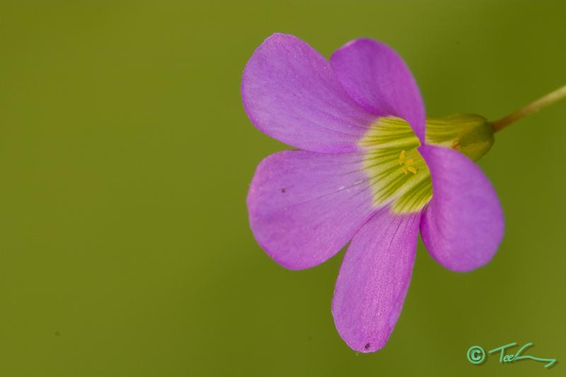 Oxalis purpurea